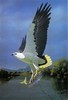 Thumbnail sea eagle mary river nt