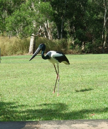 Medium harry jabiru up close and personal channel point may 2013