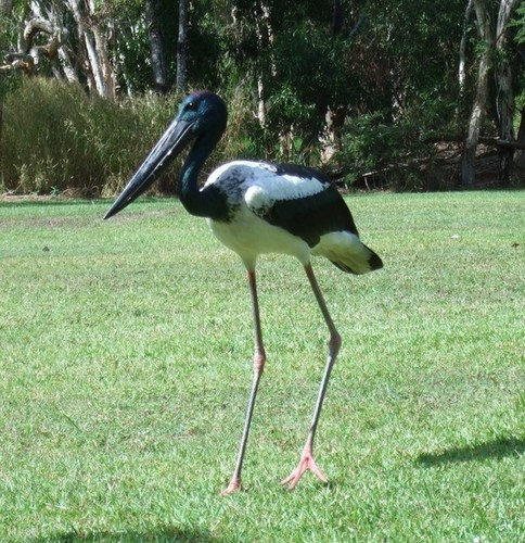 Medium harry the jabiru channel point may 2013