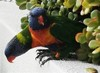 Thumbnail lorikeets at mooloolaba